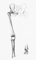 Bones of the lower limb by Zexia