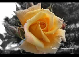 Yellow Rose by GeneRazART
