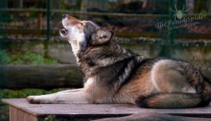 Timberwolf howling by TheFunnySpider