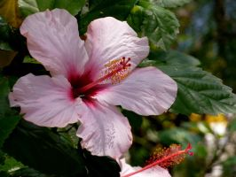 Pink Hibiscus by AtomicBrownie