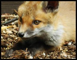 fox cub 2 by larewenevenstar