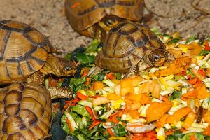 Egyptian Tortoise 2 by S-H-Photography