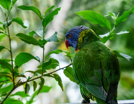 Lorikeet by vanndra