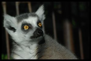 lemur: shining eyes by morho