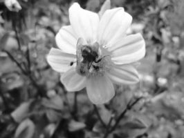 bee and flower black white by Judofighter78