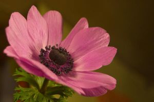 Anenome Stock 5 by Sheiabah-Stock