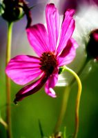 Cosmos Pale Purple II by Foxytocin