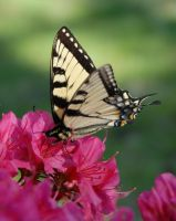 Tiger Swallowtail Butterfly II by WhyIsMyKittyAButt