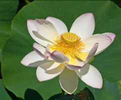Lotus Blossom by muffet1
