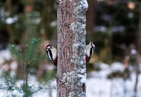 Great Spotted Woodpeckers / Dendrocopos major by ErikEK