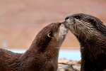 Otter Kiss by Lyric-Chan