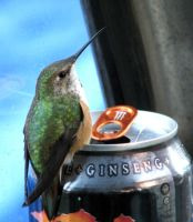 hummingbird 3 by sherilynn5690