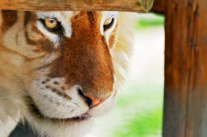 Beautiful Golden Tiger by AustrailiazTrueTaz