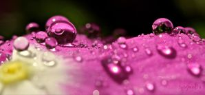 Drops of Pink by FallOut99