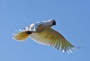 Sulphur Crested Cockatoo 215 by chezem