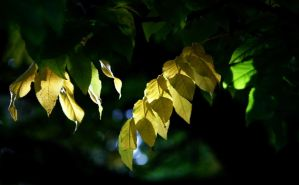 autumnal leaves by awjay