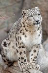 Snow Leopard 7861 by robbobert