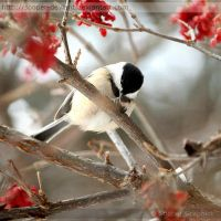 Black-capped Chickadee 9742 by Sooper-Deviant