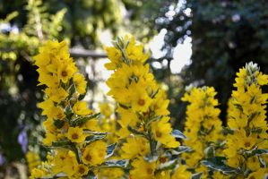 Yellow Flowers by ginabr