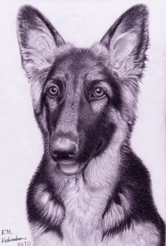 Abbey the German Shepherd pup by Elkenar