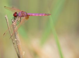 Dassia dragonfly August 2014 6 6 by melrissbrook