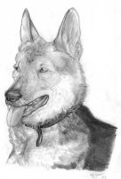 German Shepherd by StarlightsMarti
