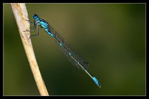 Damselfly II by Solkku
