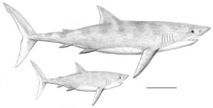 Carcharocles megalodon by PaleoAeolos