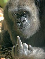 One Gorilla's Opinion by tom2001
