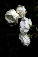 WHITE AND WITHERING by FataCorvina