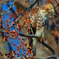 Red Tail by clippercarrillo