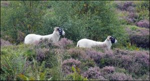 Horned Ladies Amongst Heather by sags