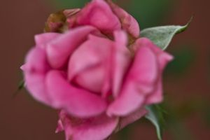 Speaking of draping roses.... by drewii57
