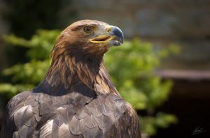 Golden Eagle by andy1349