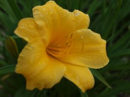 Daylily by thelilartist