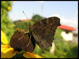 butterfly1 by DRagonka