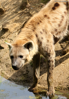 Spotted Hyena 07 by RHCP-Cream