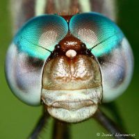 Dragonfly head detail by Insect-Lovers-Club