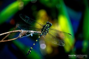 Dragonfly by vhive
