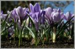 The Crocus Giants by AbiGriffey