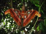 Biggest moth in the world by PhotoRevival