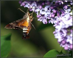 Hummingbird or bee moth 3 by Gooiool