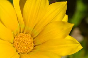 Gazania for September Birthday Friends by MayEbony