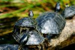 Turtles by Art-Photo