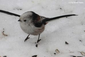 Schwanzmeise / Long Tailed Tit 1 by bluesgrass