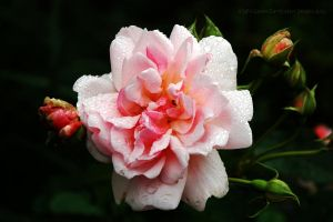 Reyndon Rose by EarthHart