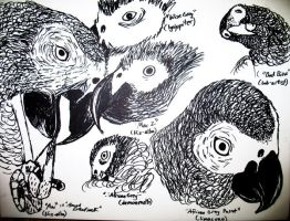 African Grey Parrot study by Sol-leks3