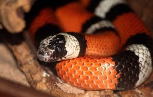 Pueblan Milk Snake by cindy1701d