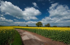Rapeseed Fields by Dave-Ellis