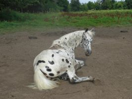 dalmation lying down 01. by greenleaf-stock
